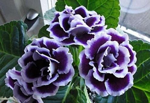 дом глоксиния махровая фиолетовая сорта Любовно-фантастические романы
